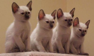 4 chatons siamois!