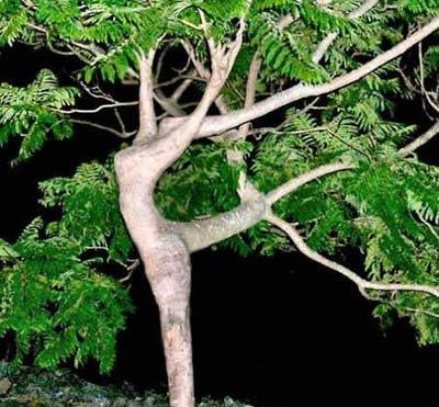 Arbre ou ballerine ? ... dans Illusions (69) arbreshiva