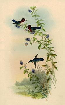 Zunzuncitos - Bee Hummingbirds